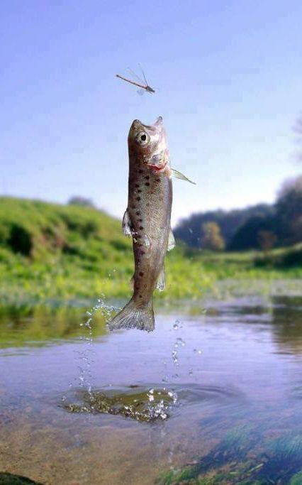 "Leap of faith, this is why super realistic flies are so important. You'd never get this level of commitment from a fish to bite with an ""attractor"" pattern."