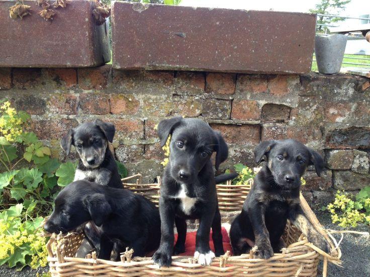 Borador (Border Collie-Lab Mix) Info, Puppies, Temperament, Pictures