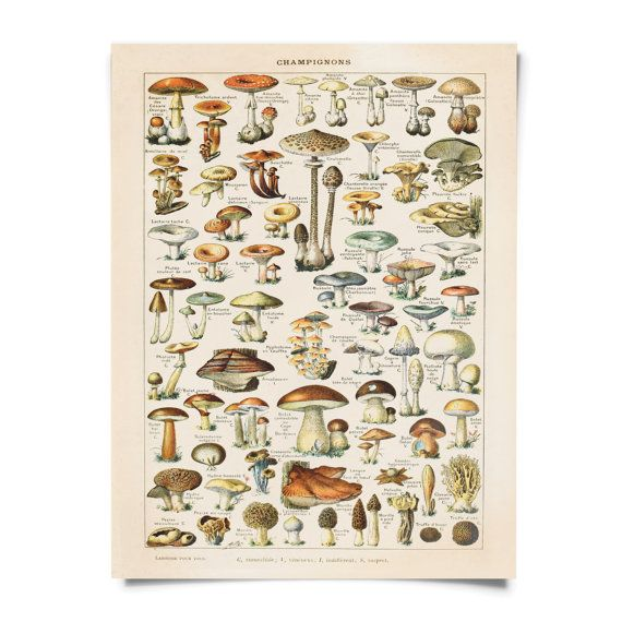 Vintage Mushroom chart Reproduction: This print comes from a salvaged educational science plate. The original art is by Adolphe Philippe Millot (1