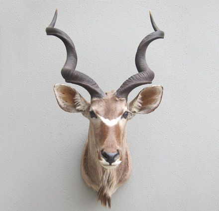 South Pacific Taxidermy Greater Kudu #taxidermy #animalart