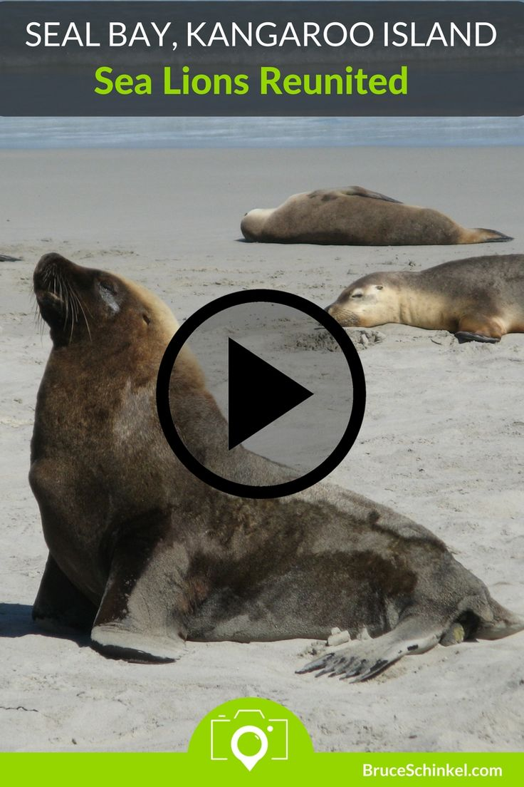 While enjoying a ranger-led excursion on the beach at Seal Bay Conservation Area, a mother sea lion emerged from under the stairs and made her way past us to find her calling pup