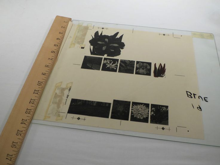 VTG 1950s Large Glass Plate Negative - Spring Hill Nursery Flower Catalog Page