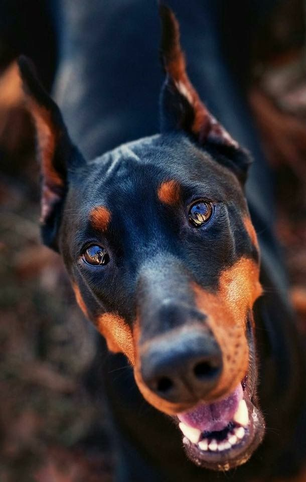 Doberman Dog Dogs Puppy Puppies Small Dogs Cute Dogs