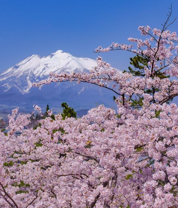 Hirosaki Cherry Blossom Festival Peach Blossom Tree Cherry Blossom Japan Cherry Blossom Festival