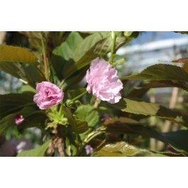 Gehört zu den bekanntesten und am weitesten verbreitete japanische blühende Kirschen.Höhe 8 bis 10 m, Breite 5-8 m. die glatte Rinde ist bräunlich grau in Farbe, rötlich braune Zweige. Das junge Laub ist ze und erscheint gleichzeitig mit der Blüte. Im Som