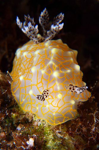 Golden Lace Nudibranch <3