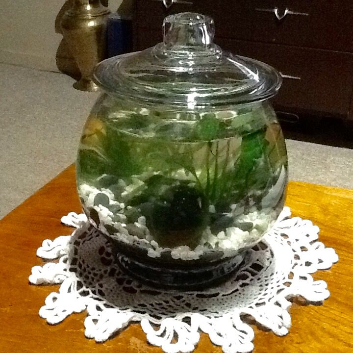 Tabletop biosphere. Contains cherry red shrimp, danos and snails. Love the moss ball.