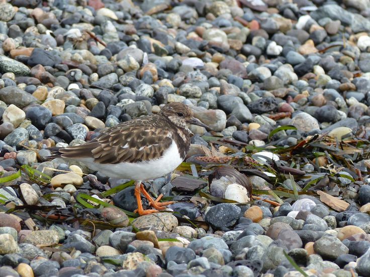 Michael W Klotz - The Bird Blogger.com posted a photo:  We have an unusual turnstone visiting us this winter. The Ruddy turnstone is found south of the the 49th parallel by a state or so on the Pacific side of the continent. They do pass through on their way to the high arctic to breed, but are still uncommon even then. This bird has been frequenting the same piece of busy beach for the winter keeping company with some Killdeer.  Michael Klotz - www.TheBirdBlogger.com