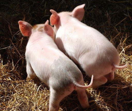 Ass pig round tail