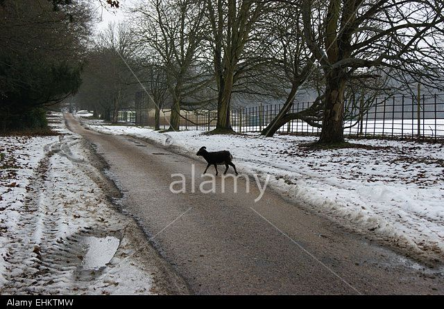 A sheep crossing the road Stock Photo