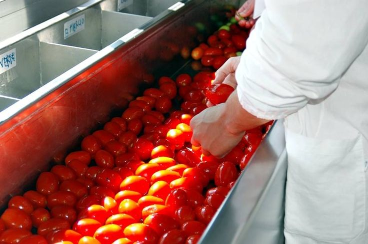 Selection is underway of the newly arrived tomatoes - handled with care and respect at every point.  www.muttiparma.com.au