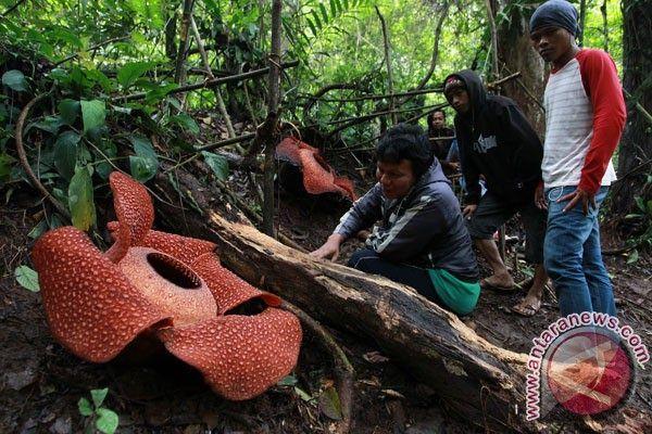 Bunga Rafflesia Mekar di Hutan Lindung Bukit Daun, Kabupaten Bengkulu Tengah, Bengkulu