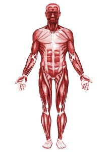 7 best muscular system images on pinterest, Muscles