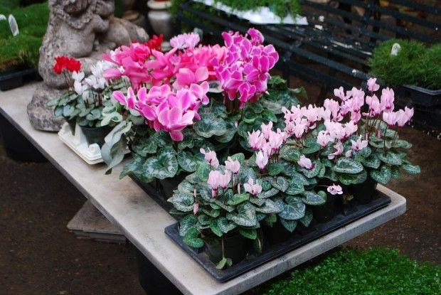 cyclamen-in-flower.jpg