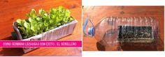 Sembrar lechuga en un brik de leche y protegerlo con botellas de plástico