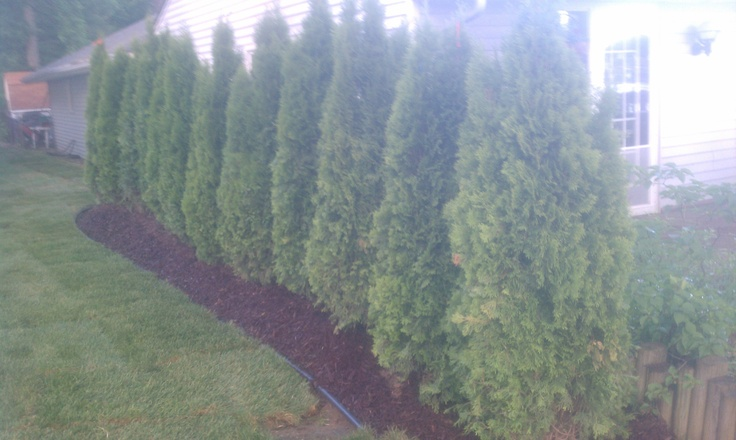 Arborvitae make a nice natural green privacy fence for Natural privacy fence