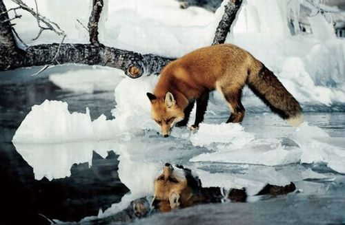 cold, fox, and reflection image