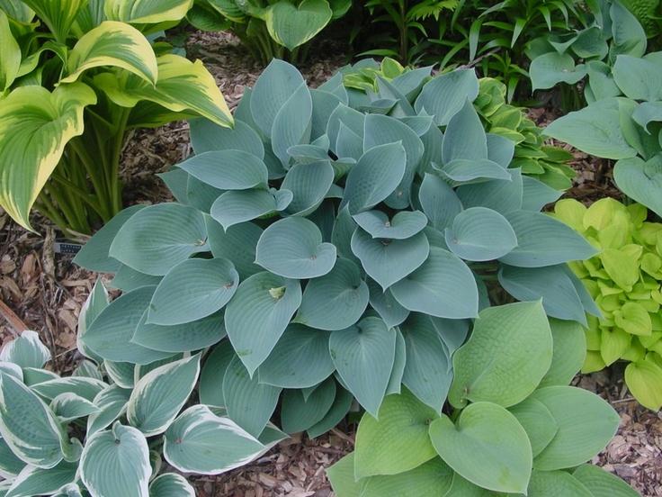 Hosta Hadspen Blue For Shade Garden
