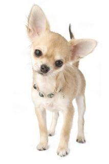 Miniature Teacup Chihuahua