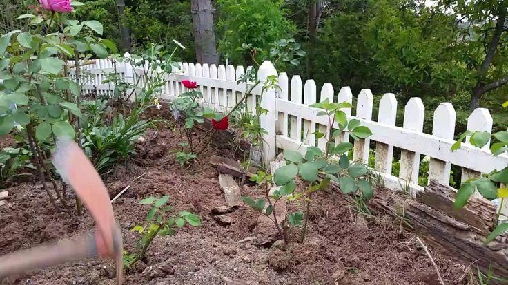 Roseiras: 3 cuidados básicos - Rosebushes in 3 steps