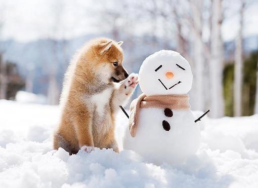 雪だるまに触れる豆柴