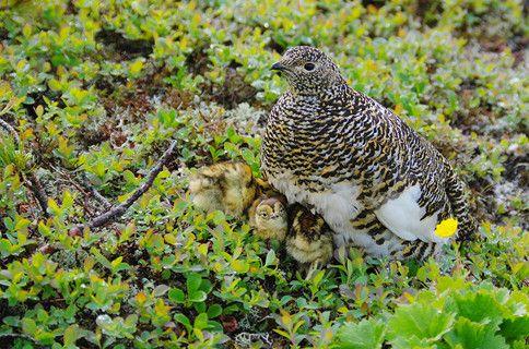 【孵化 hatching】      【写真家たちの新しい物語】 高橋広平写真展「四季を纏う神の鳥 ~雷鳥に魅せられて~」 | フジフイルムスクエア(FUJIFILM SQUARE)