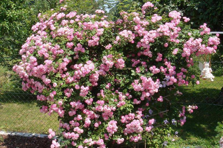 17 best images about roses climbing on pinterest shrubs. Black Bedroom Furniture Sets. Home Design Ideas