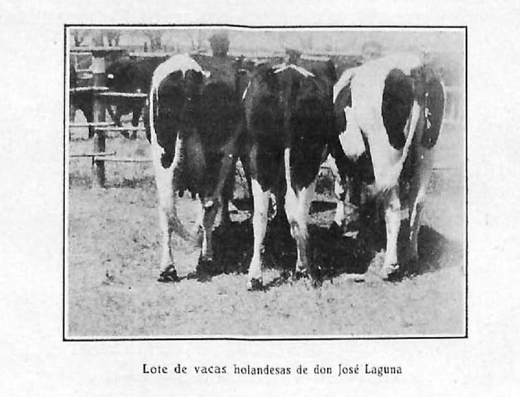 """""""Lote de vacas holandesas, de don José Laguna"""". Lámina perteneciente a Memoria del concurso provincial de ganados, aves de corral e industrias derivadas y complementarias de la ganadería : celebrado en Córdoba en 1932. Disponible en http://helvia.uco.es/xmlui/handle/10396/6586"""