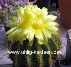 Uhlig Kakteen Notocactus warasii | Stachel-Shop