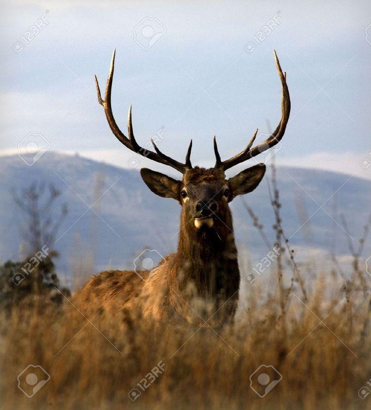 elk images - Google Search