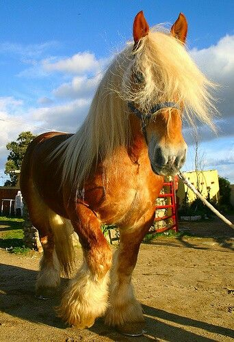 .Belgian Draft- Very typical colours in this pic.  It is a greatly loved and popular horse for it's powerful strength, docile temperament, flaxen colours, straight back, mix of riding/hunting/working/driving abilities, and is a unique breed unlike many other ones.