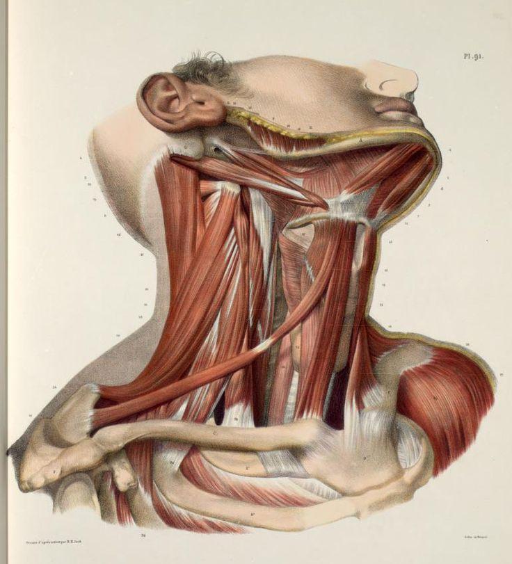 ☤ MD ☞☆☆☆ [Traité complet de l'anatomie de l'homme comprenant la médecine opératoire (pinterest.com/pin/287386019941966857/), par le docteur Marc Jean Bourgery. Illustration by Nicolas Henri Jacob, 1831-1845].