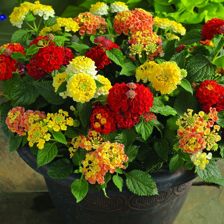 Lantana Hanging Basket Magnificent 51 Best Lantanas Images On Pinterest  Flower Gardening Container Decorating Inspiration