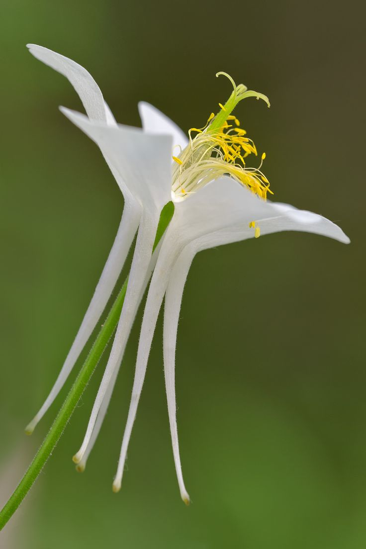188 best aquillegia colombine caldarusa images on pinterest white columbine dhlflorist Image collections