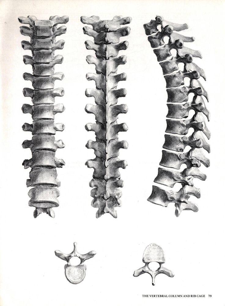 Book Plate of Albinus Anatomy. The Vertebrae Column. Dorsal Thoracic Vertebrae. 1972. by DustCoverPaperati on Etsy