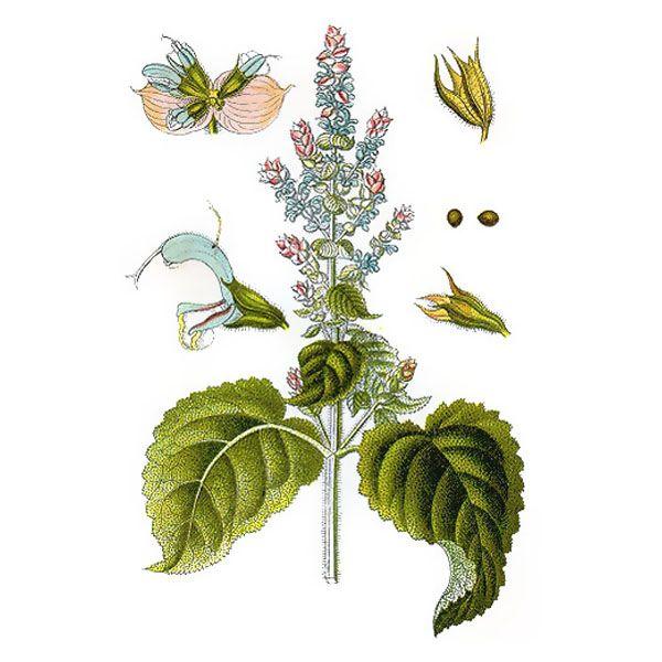 Chémotypes : acétate de linalyle, linalol / Nom botanique : salvia sclarea / Origine : France (Haute Provence) / Partie distillée : plante fleurie