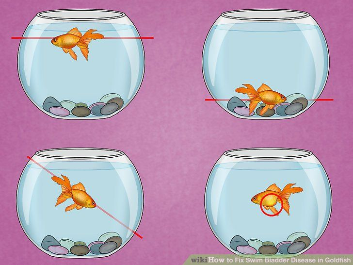 Image titled Fix Swim Bladder Disease in Goldfish Step 1