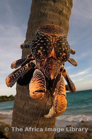 Tanzania, Zanzibar, Chumbe Island, Giant Coconut Crab, Birgus Latro, is the largest terrestrial crab in the world © Ariadne Van Zandbergen