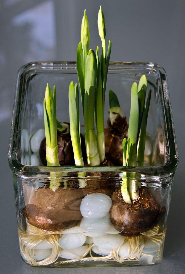 Вырастить луковицы тюльпанов в вазе