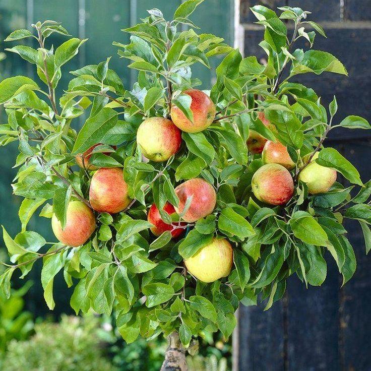 SPECIAL+DEAL+-+Patio+Fruit+Tree+-+Compact+Apple+'Braeburn'+Tree