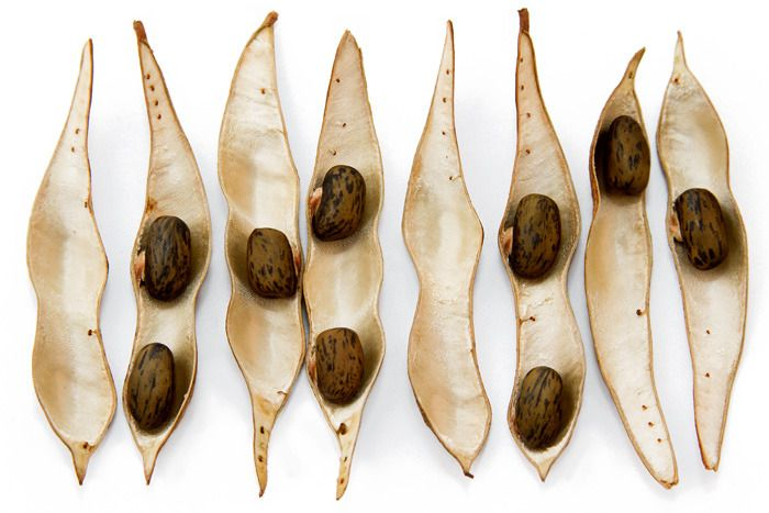 petitcabinetdecuriosites:  Anna LaurentWisteria-frutescensAmerican wisteria (Wisteria frutescens)Boston, Massachusetts. November 2012.