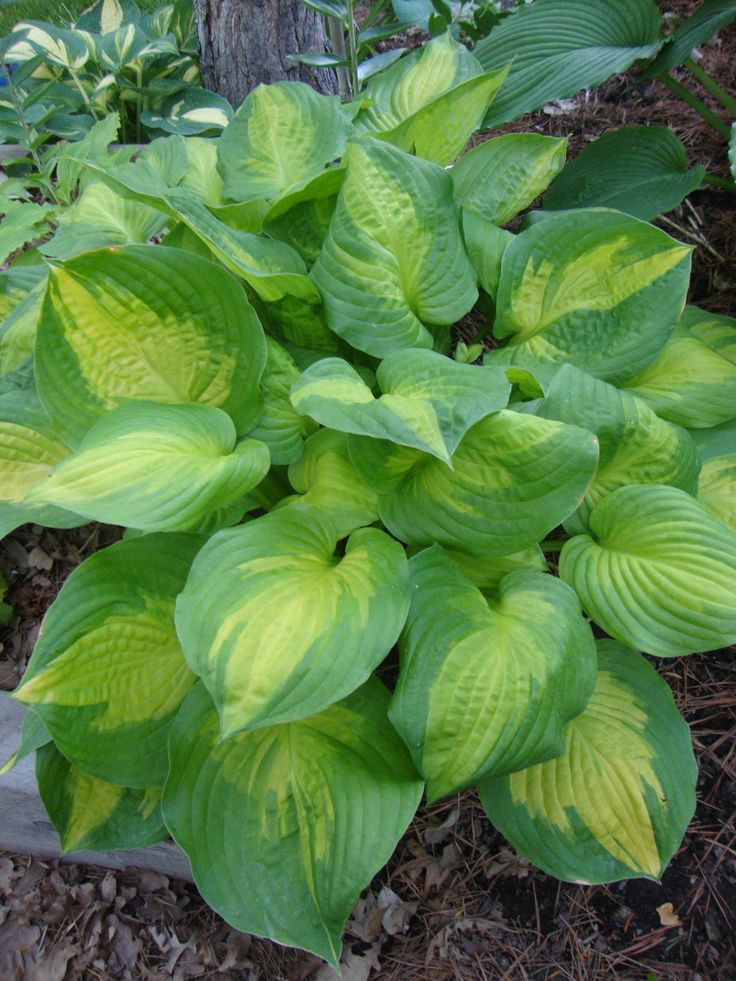 Hosta 'Dance with Me'                                                                                                                                                                                 More