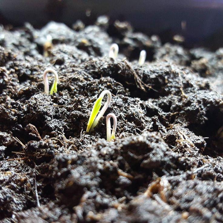 'Jippi!!' ropar vi när vi kom in i morse. Nu börjar de kika fram våra små tomatplantor vi sådde den 2 februari och visst är de så gulliga. Väx mina vänner väx!