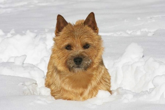 What is all this white stuff? | Norwich terrier, Cairn ...