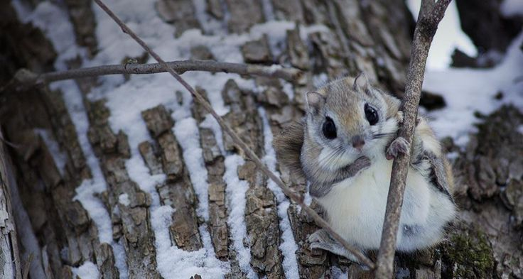 The cutest thing ever. I present the Japanese Dwarf Flying Squirrel. - Imgur