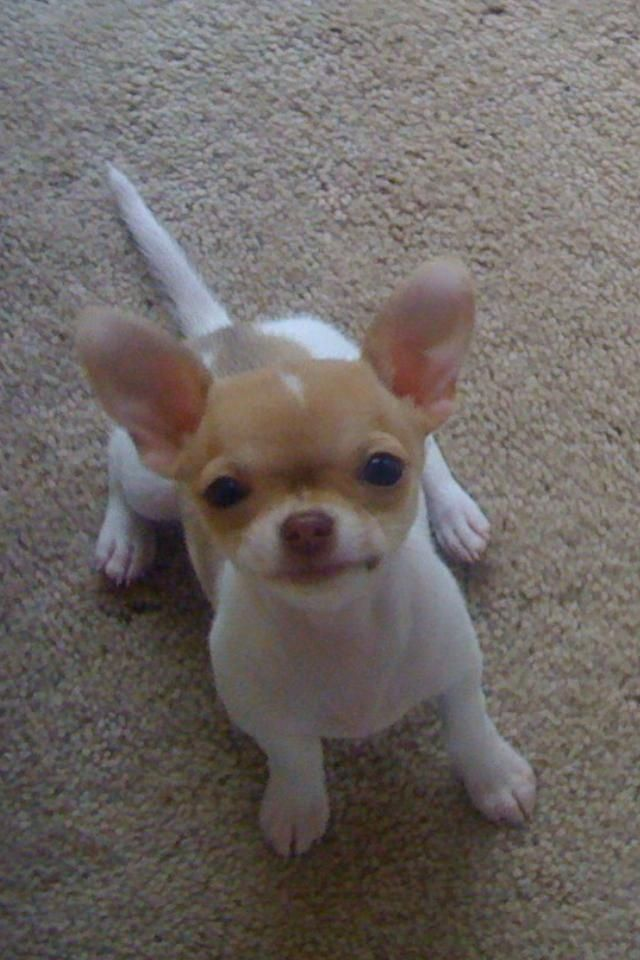 just to kiss that face ---- Love Your Chihuahua?? Visit our website now!