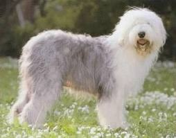 Pastor ingles cachorroSheep Dogs,  Bobtail, Pastor Ingles, Dogs Breeds, Old English Sheepdog, Shaggy Dogs, Bobtail Dogs, Children Book, Animal
