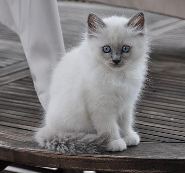 chaton sacré de birmanie blue point