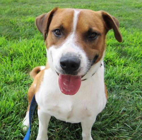 Jack - ADOPTED! Dog • Corgi & Labrador Retriever Mix • Adult • Male • Medium Big Fluffy Dog Rescue East Windsor, CT