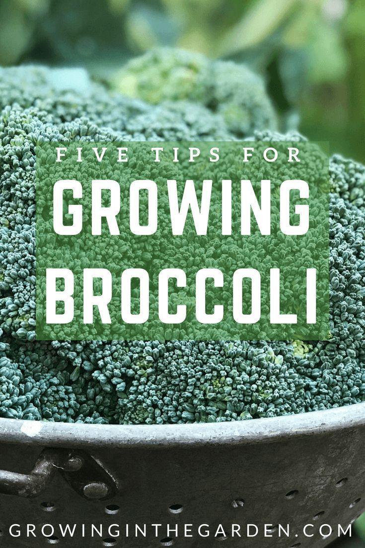 Five Tips For Growing Broccoli Growing Broccoli Vegetable